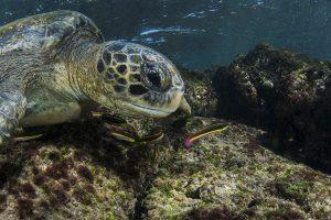 Galapagos Green Turtle Feeding
