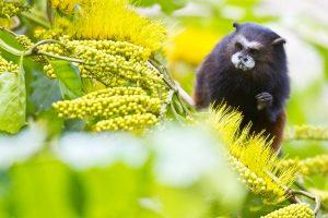 Tambopata Reserve Monkey