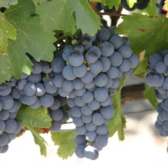 Malbec grape