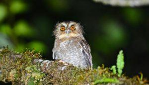 Owlet at Huembo Lodge