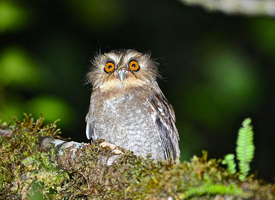 Owlet at Huembo Lodge