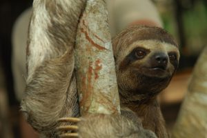 Three Toed Sloth 1