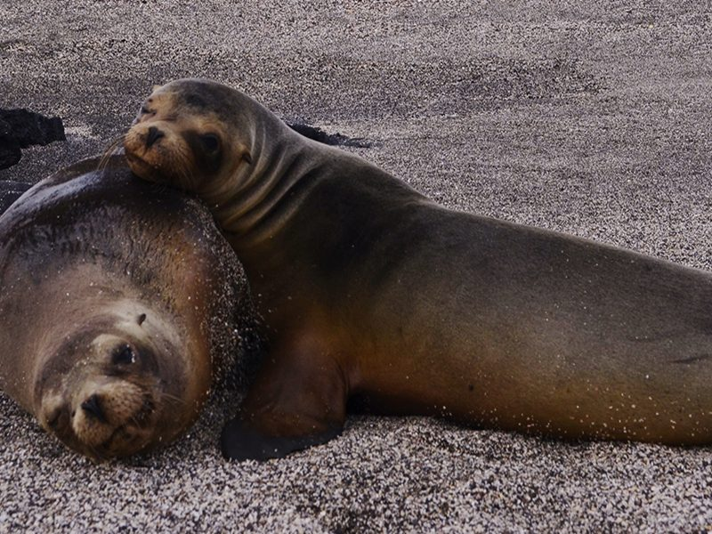 Sea Lions at Galapagos Islands