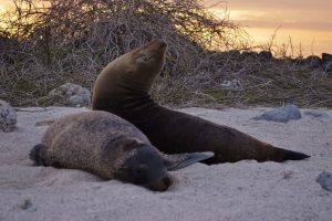 Sea Lions Sunset