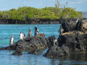 Galapagos Penguin 1